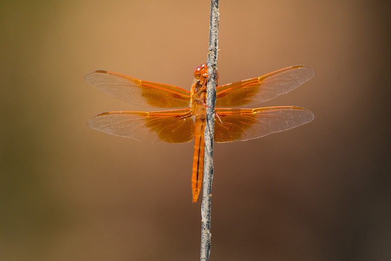 An amazingly colored dragonfly at Pinnacles.