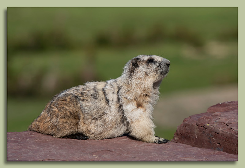 Hoary Marmot on the go
