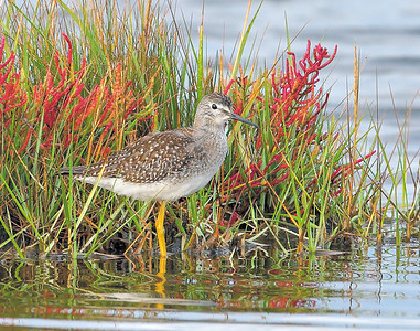 _NW89065 Yellow legs Fall marsh