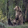 "Grizzly Bear #793 ""Blondie"" - Grand Teton National Park 