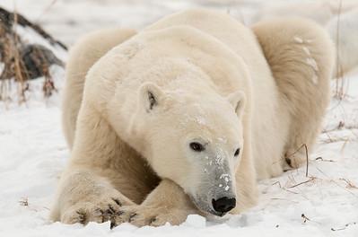 Bearly Awake, Churchill, Manitoba