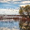 Sacramento Wildlife Refuge Snow Geese