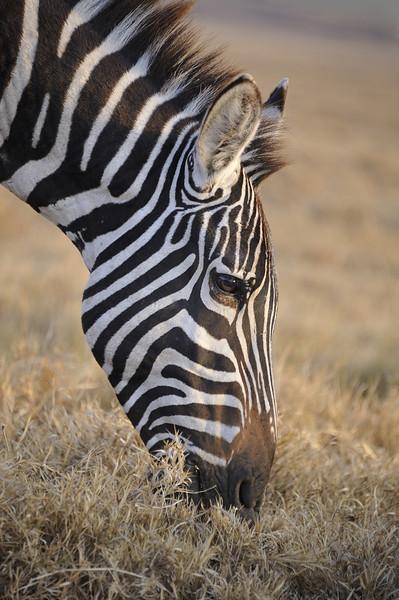 Zebra in morning light at Lake Nakuru National Park, Kenya, East Africa