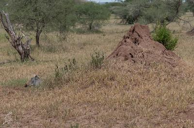 Phacochoerus africanus