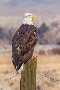 Eagle on Post