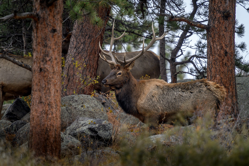 Bull elk with his harem in Rocky Mountain National Park near Estes Park, Colorado