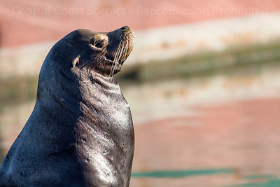 Sea Lion, Moss Landing Harbor