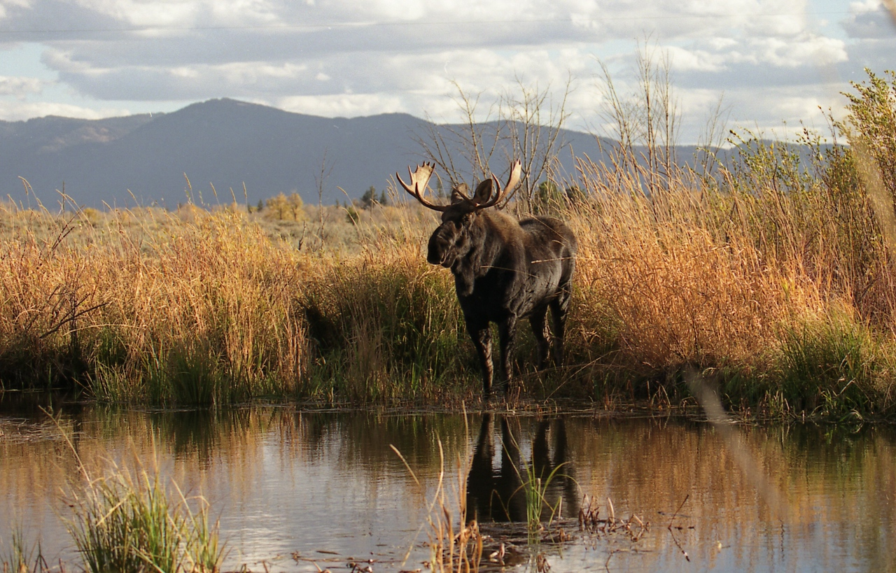 Moose - Near Jackson Hole, Wyoming