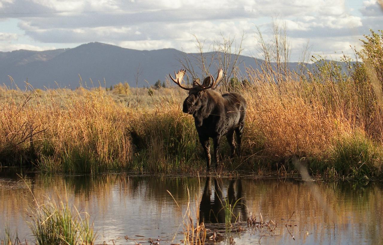 Moose - Near Jackson Hole, Wyoming