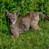A Coyote Pup 6/7/20