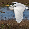 Great Egret 8423