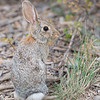 Rabbit, Kaibab National Forest, Arizona