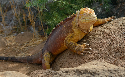 Land Iguana in the Galapagos .