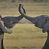 Two Elephants Greeting each other, Amboseli National Park, Kenya, East Africa