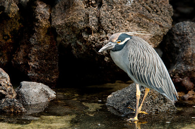Yellow-crowned Night Heron - Isla Genovesa