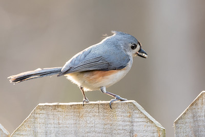 391- Tufted Titmouse