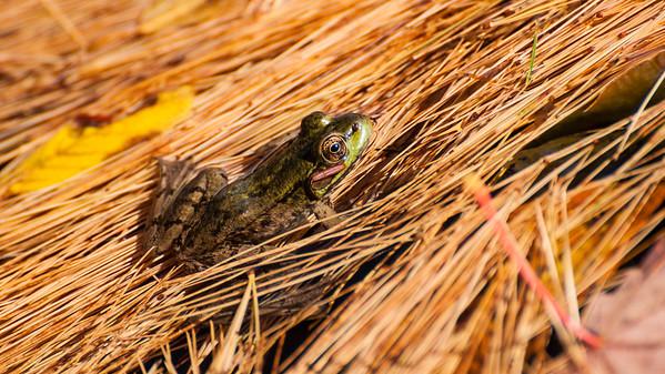 Frog in needles