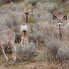 July 29 - Three Mule Deer<br /> <br /> I caught these gals looking in all directions.  <br /> <br /> Thanks so much for your nice comments on my New Growth in the Forest image I posted yesterday.  They are all so much appreciated.