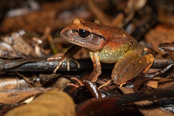 Northern Barred Frog