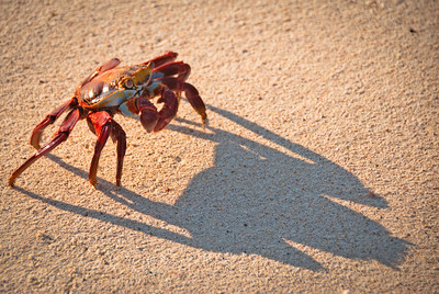 Sally Lightfoot crab on Las Bachas, Santa Cruz