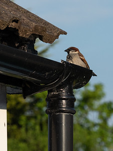 Our resident sparrow