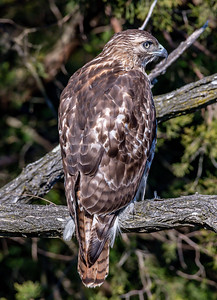 Red-Tailed Hawk 2/14/19
