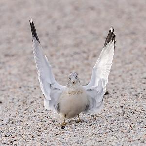Oh The Gulls