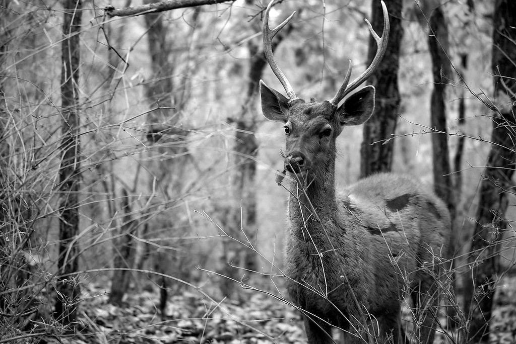 Sambar Deer in the wild