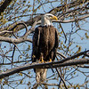 Bald Eagle Perched on Branch 4/15/16
