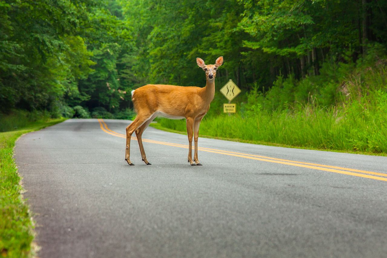 Stone Mountain Deer