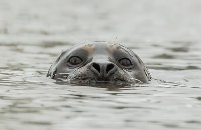 Otter eyes, Moss Landing