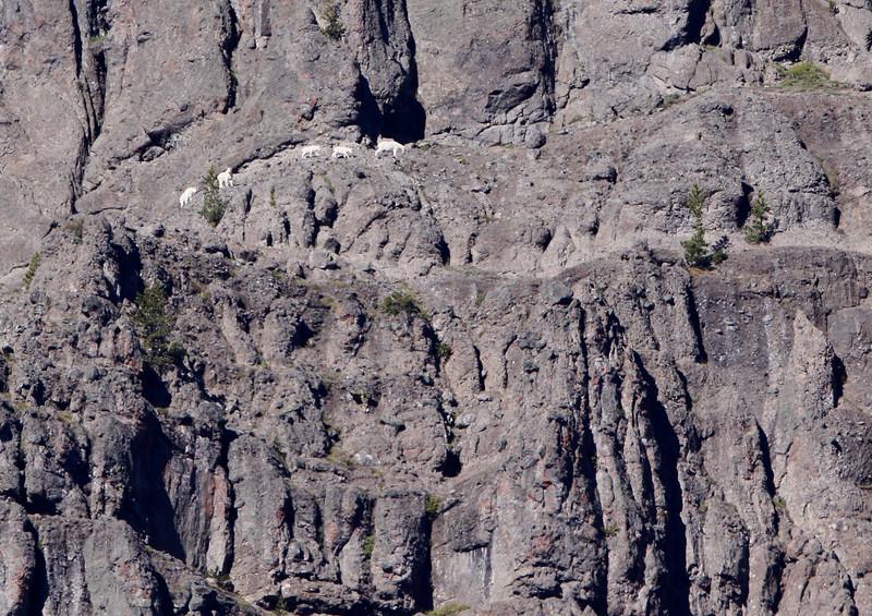 Alpine Mountain Goats - Yellowstone National Park