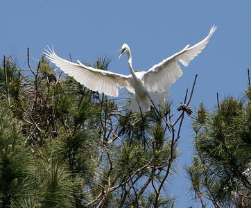 Flaring Heron