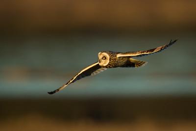 Hunting Short Eared Owl, Sunset
