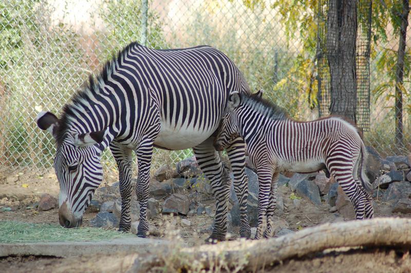 171 - Zebras, Denver Zoo