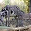 171 - Zebras, Denver Zoo