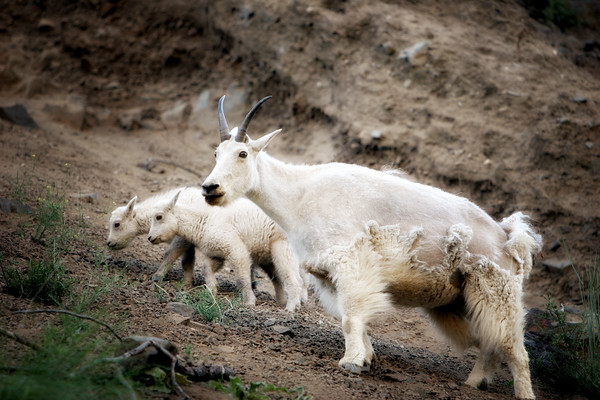 Mountain Goat with Twins