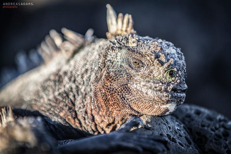 Wise Iguana