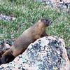 305 - PIkes Peak Marmot