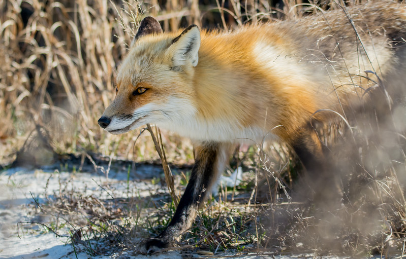 Red Fox at Island Beach State Park 2/28/16