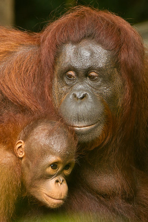 Orangutan mother love