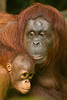 Orangutan mother love