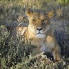 Female lion in Ndutu Conservation Area, Tanzania, East Africa