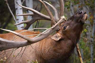 Close-up of Bull Elk Destroying Tree