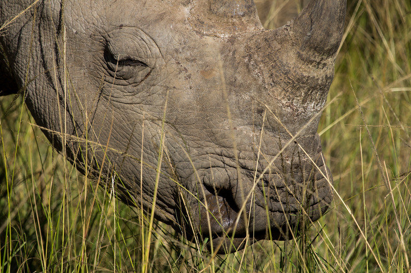 Close-up of an Endangered white rhino in long grass, beautiful, KwaZulu-Natal