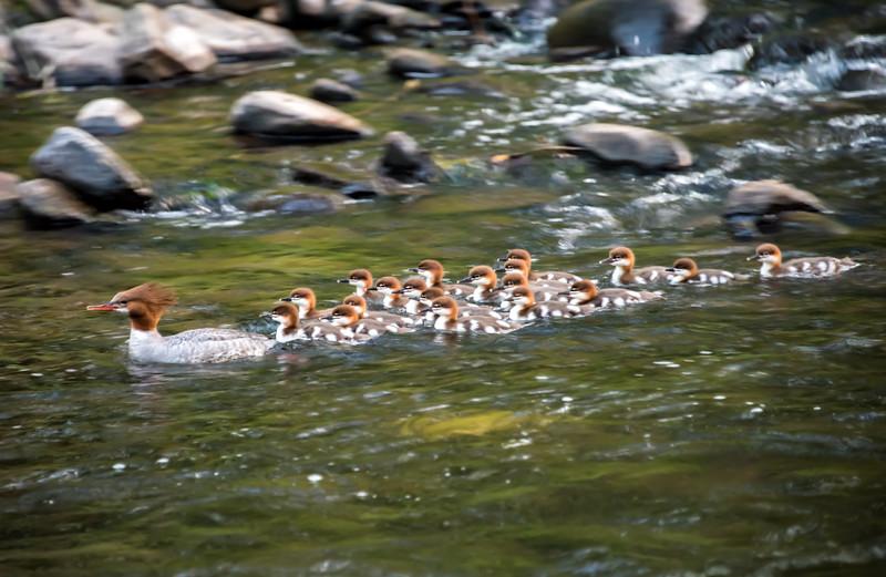 Common Merganser Family 6/24/16