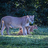 Female lion with cubs, Ngorongoro Crater, Tanzania, East Africa