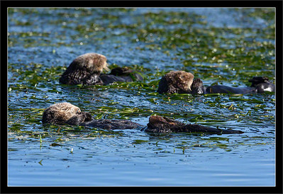 Napping Sea Otters