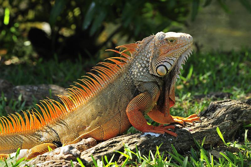 Iguana in the Early Morning Sun, Florida Keys