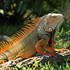 Iguana in the Early Morning Sun, Florida Keys